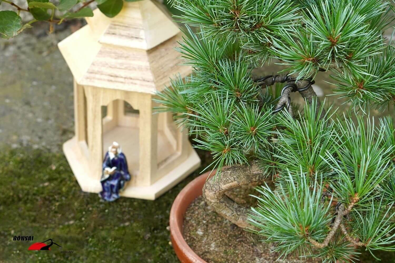 Pinus parviflora (Japán selyemfenyő) bonsai