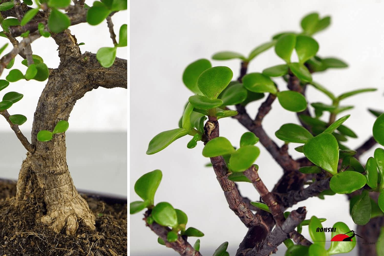 Portulacaria afra (Japán pénzfa) bonsai - Bonsai Hungary